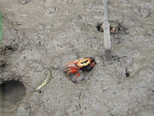 Nervous fiddler crab